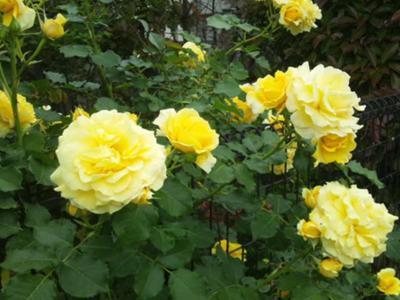 庭の薔薇は花盛り! 良いですね~華やかで。