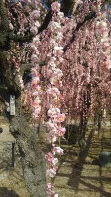 垂れ梅のお花見に行ってきました🌸もう、春ですね。