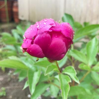 おはようございます。雨上がりの水曜日。 芍薬は蕾が一番かわいい、と思う。
