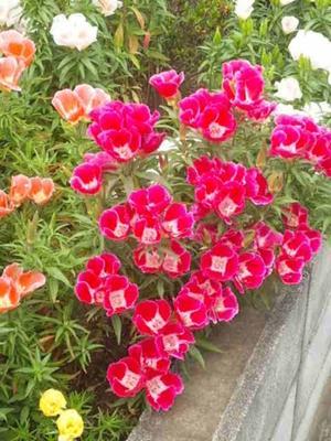 こんにちは♪ 朝から暑いですね~ 松葉牡丹が咲き乱れています。 今日も一日、お元気で!