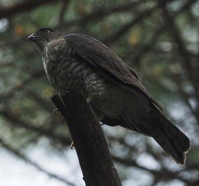 【久々大物ゲットだぜ♪】ん、あれ、飛び方がハトじゃない、色も違う、猛禽類だ、あ、鳴いたと追っかけたら。もっと近くで見ていたおじさんに場所教わる。ハトサイズだから最初ツミかと思ったら、こりゃオオタカだ。「エサもらってた」って会話を他の鳥撮りの人たちがしていて、家で調べたら、確かにこの模様は幼鳥だ。これでおこちゃま。立派ですね。