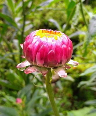 """おはようございます♪雨降りの東京の朝です。「麦藁菊」別名;帝王貝細工 花言葉は""""永遠の記憶"""" 光沢がある花弁はガラス質のケイ酸を含んでいる為。記憶とか追憶とか思い出…という言葉は気になります✨好きな言葉ありますか。"""