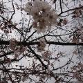 桜📕のベルズ