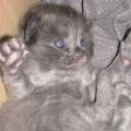 gatta blu