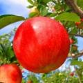 みつりんご