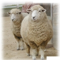 羊のふかふか