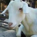 かっぺ(こと悩める母山羊)