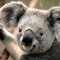 オーストラリアからやってきた福の神