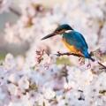 桜雫―私は翡翠が好き。ということで写真変えました。―
