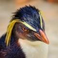もろこしペンギン (もろペン)