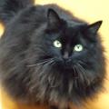 黒猫のダンゴ