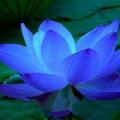 bluelotus