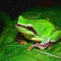 胃之中野  蛙(いのなかのかわず)